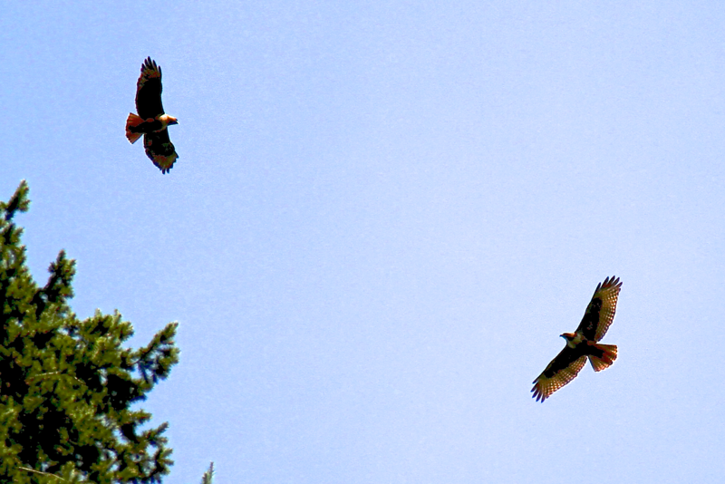 2012 REDTAILED HAWK FAMILY   4323.png