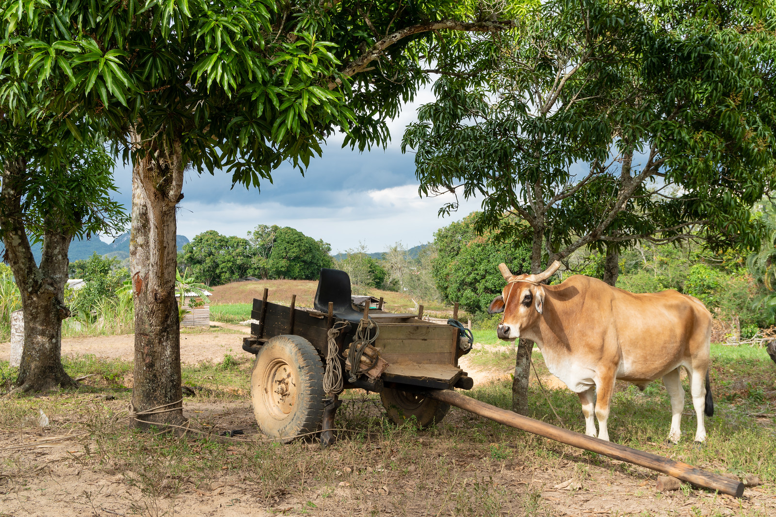 This oxen is having a break