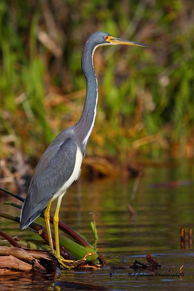 Tricolored Heron, Merritt Island NWR,  FL - December 2014