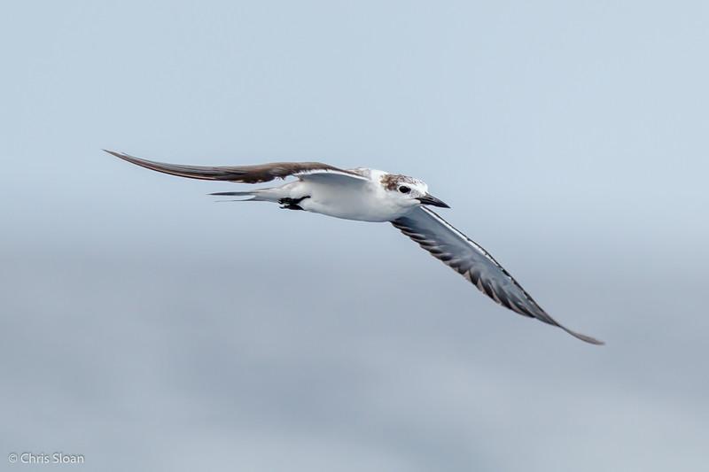 Bridled Tern juvenile at Gulf Stream off Hatteras, NC (08-09-2014) 033-31.jpg