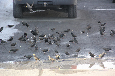 Birds, US209, Lansford (2-25-2014)