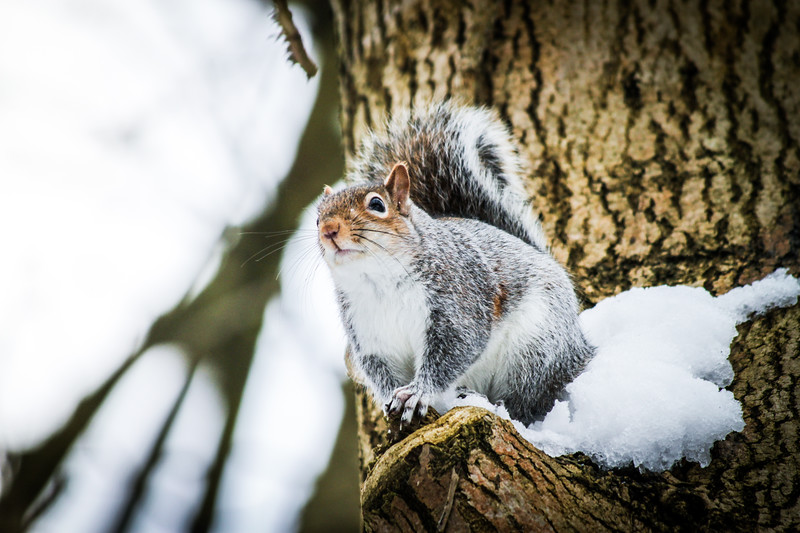 Grey Squirrel (Sciurus carolinensis) on a london tree.