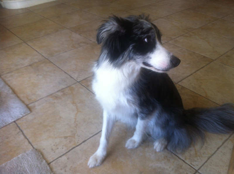 Found dog - Sunday july 21st - area of 43rd ave and Southern.
