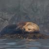 Snoozin Sea Lion