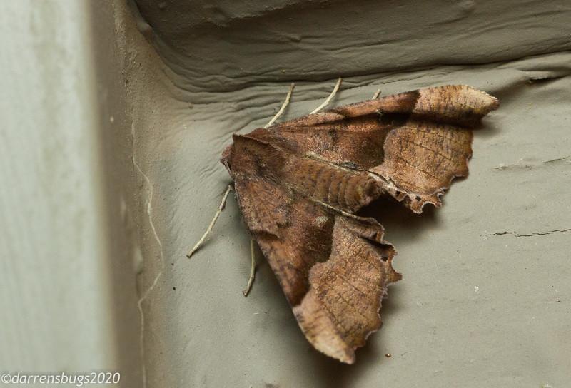 Morrison's Pero, Pero morrisonaria (Geometridae) from Wisconsin.