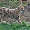 Baby Spotted Cheetah