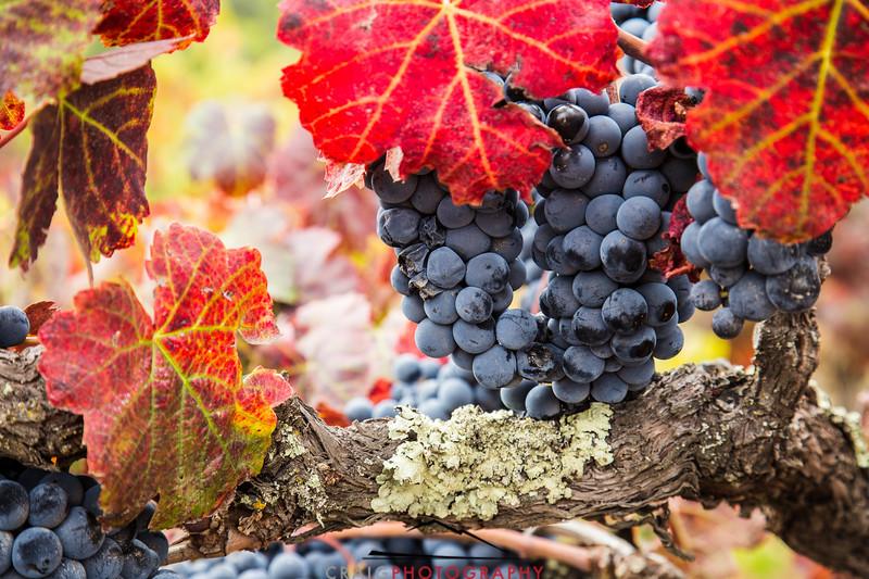Napa Valley Harvest #26