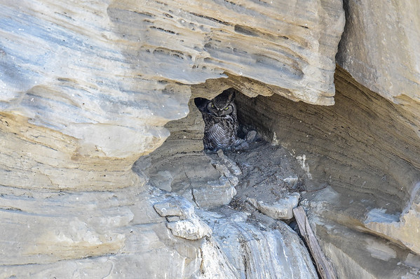 4-10-14 Great Horned Owl Cave Nest