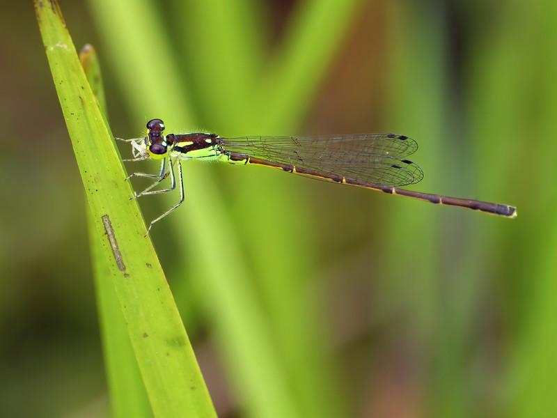 Fragile Forktail (Ischnura posita), male