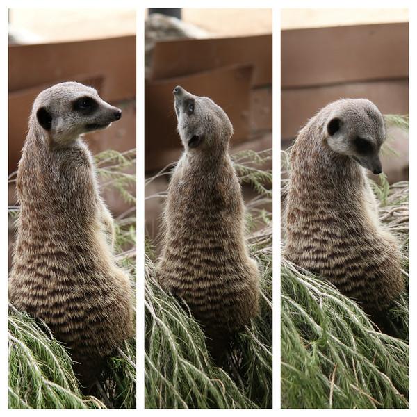 meerkats.jpg