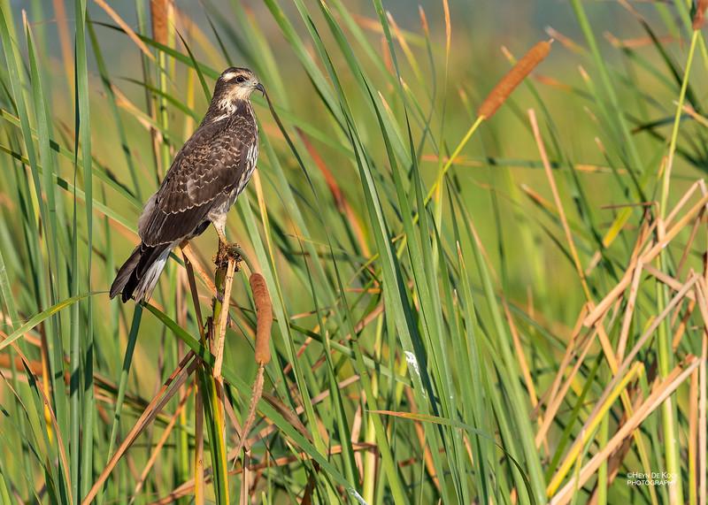 Snail Kite, f, Kissimmee Swamp, Kenansville, FL, US, May 2018-2.jpg