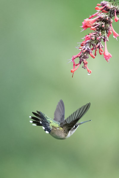 #1744 Ruby-throated Hummingbird