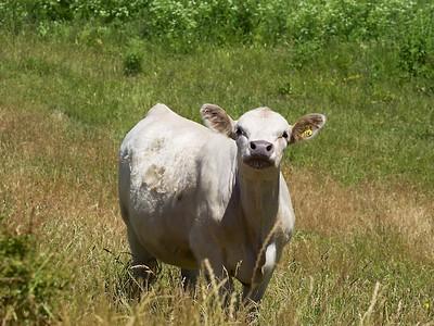 New Zealand Cattle