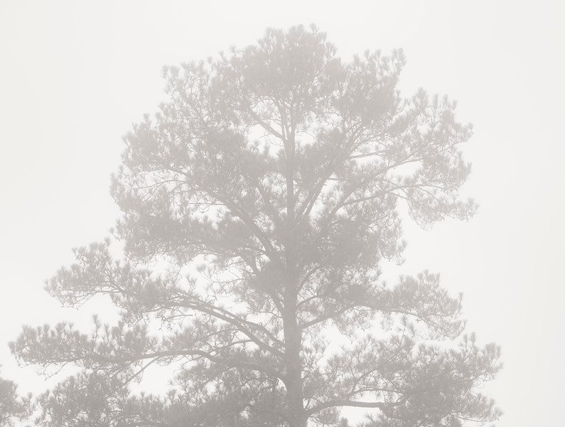 2021-01-24 Pine tree in fog_DSF0213.jpg