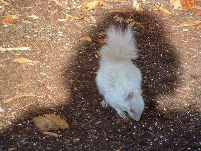 brookside Nov.10, 2004 (albino squirrel)