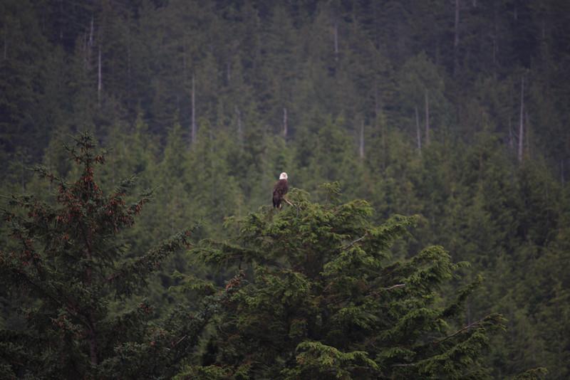 We saw many Bald Eagles
