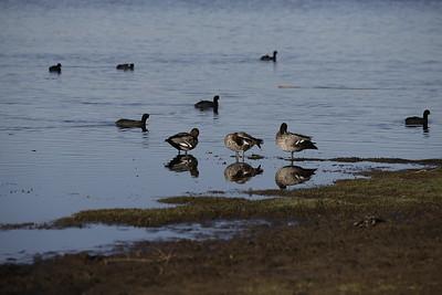 20190525-26 - Birding at Herdsman Lake