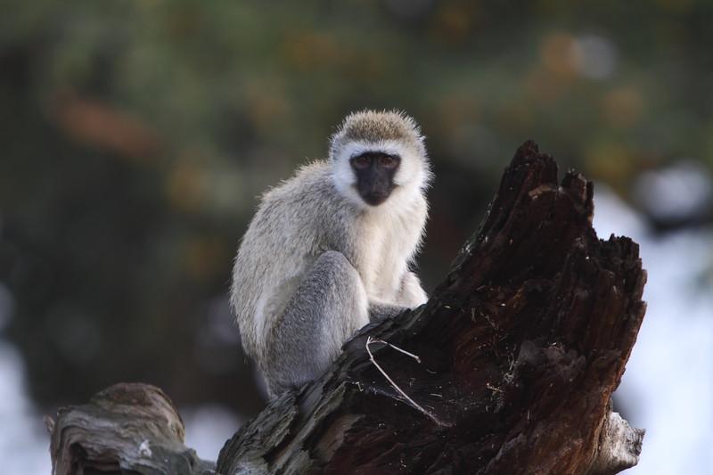 Velvet Monkey.JPG
