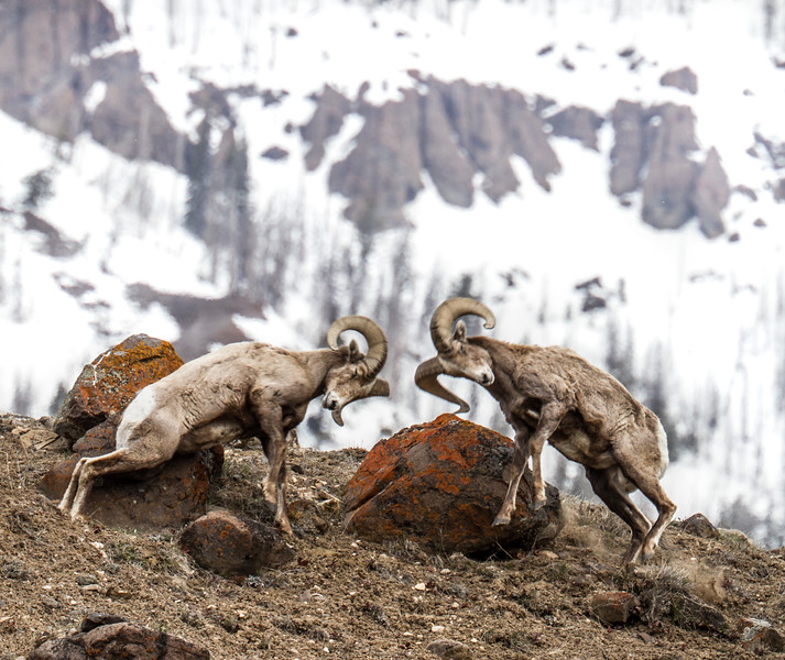 Bighorn rams bachelor herd near Soda Butte Yellowstone National Park WY IMG_6760.jpg