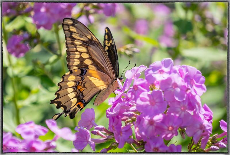 Swallowtail at Fletcher  Wildlife Garden in Ottawa