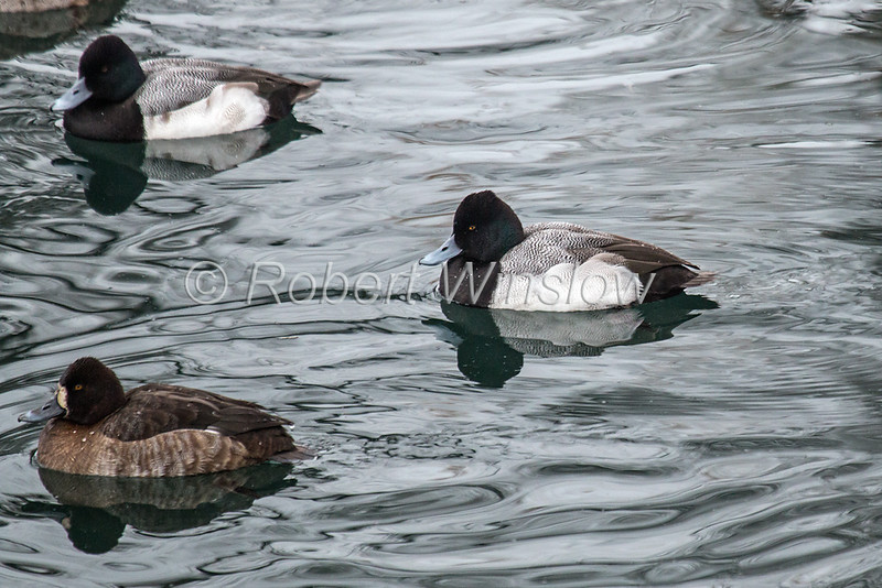 Male Lesser Scaup, Aythya affinis, La Plata County, Colorado, USA, North America