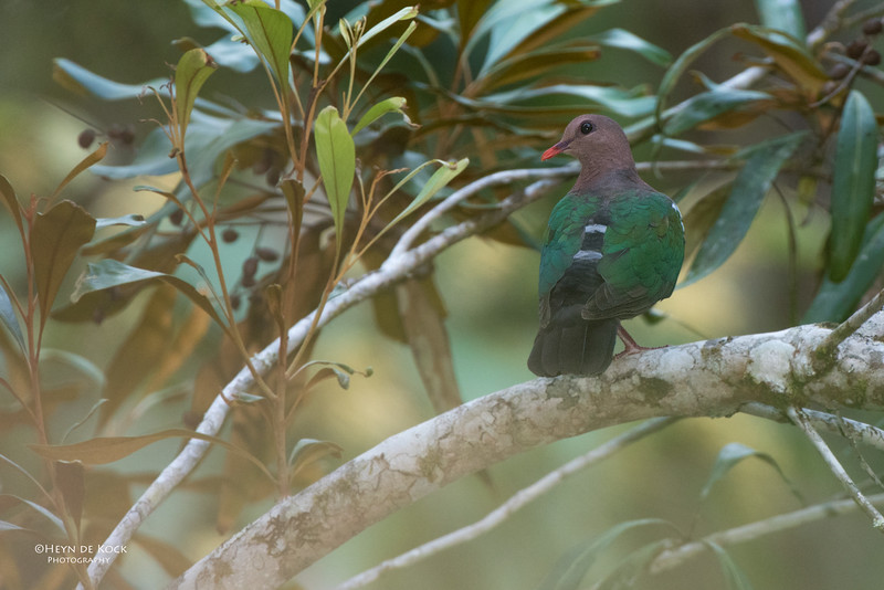 Emerald Dove, Lake Eacham, QLD, Dec 2014-1.jpg