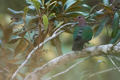 Pacific Emerald Dove (Chalcophaps longirostris)
