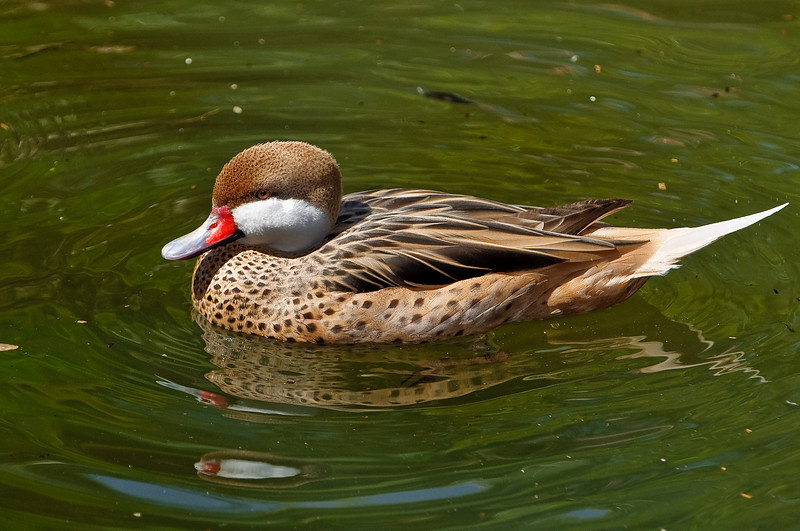 Duck at Palm Beach Zoo