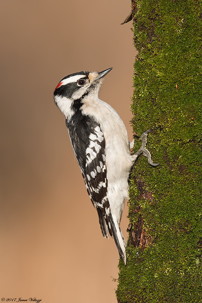Downy, Woodpecker, Picoides pubescens