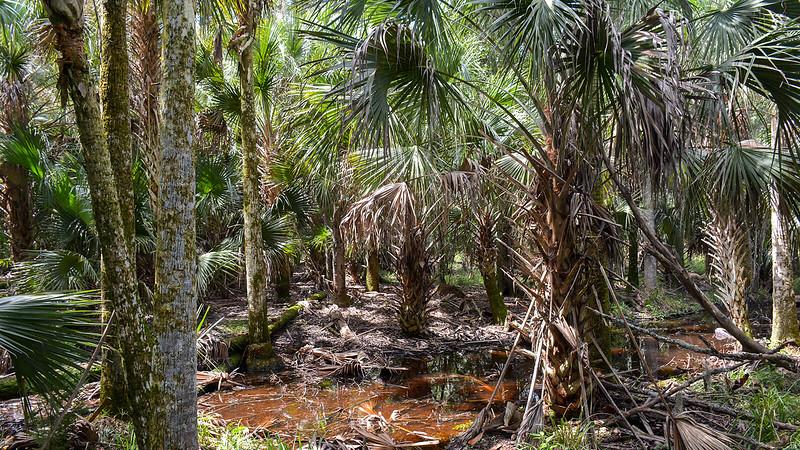 Tea-colored stream amid palm trees