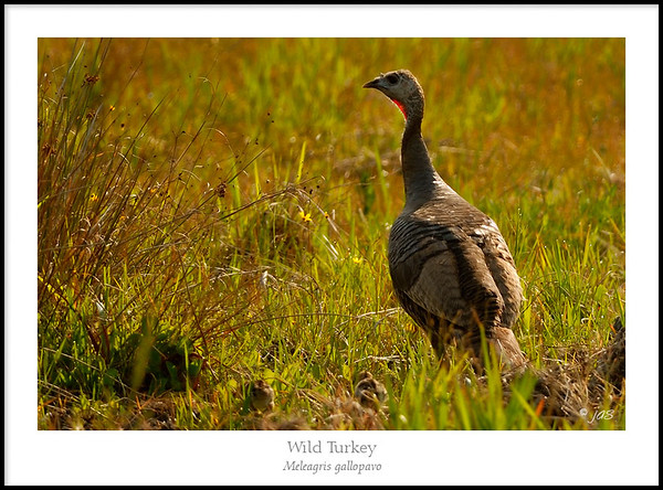 Grouse and Allies