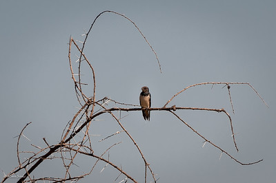 Swallow, Barn