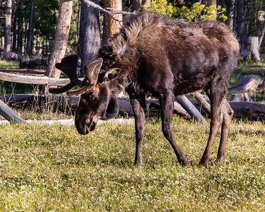 Showdown with Two Bull Moose...