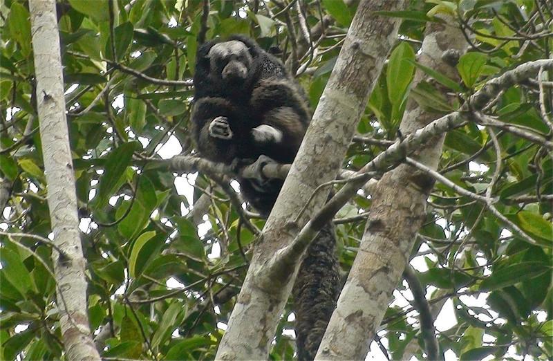 Woolly Monkey (Lagothrix lagothricha)