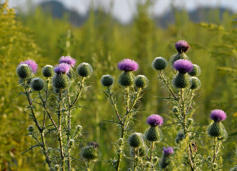 Thistle-morning-light.jpg