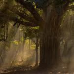 Sunlight filtering through a Banyan tree in Ranthambhore