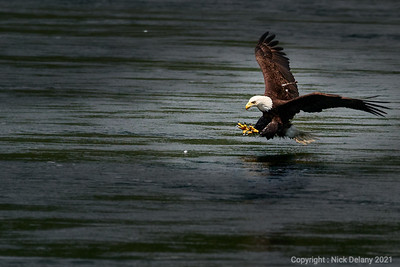 Bald Eagle fishing # 32