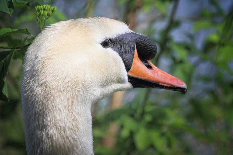 Alert Swan