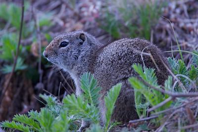Marmots, Ground Squirrels