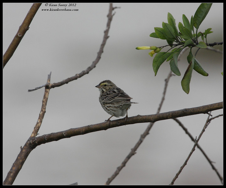Savannah Sparrow, Robb Field, San Diego River, San Diego County, California, February 2012