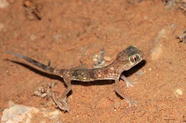 Eastern Sand Gecko