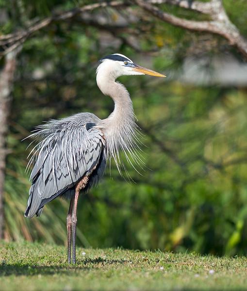 Great Blue Heron All Fluffed Up Wakodahatchee Wetlands Delray Beach, Florida © 2012