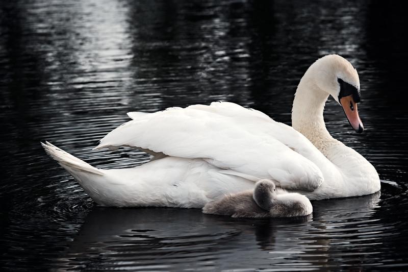 Swans_Of_Castletown032.jpg