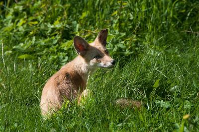 Fox in Hounslow