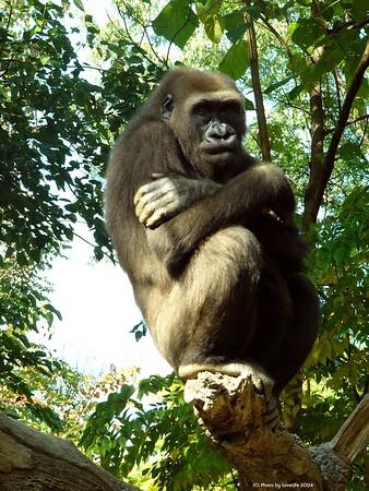 - Low Land Gorillas -