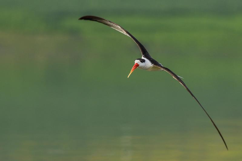 Indian-Skimmer-Chambal.jpg