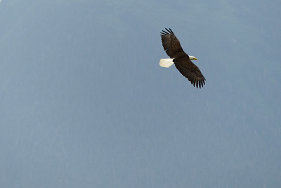 Majestic Bald Eagle in Flight June 2015, Cynthia Meyer, Tenakee Springs, Alaska P1000148