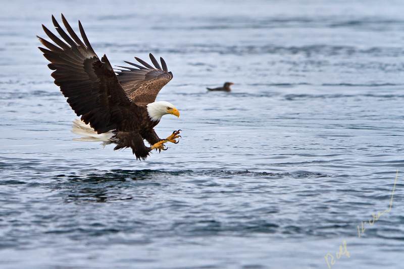 Adult bald eagle (scientific name: Haliaeetus leucocephalus) fishing with wide open wings split second away to catch a fish