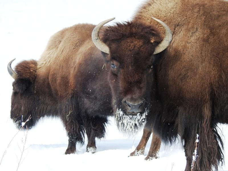 Buffalo (26).JPG