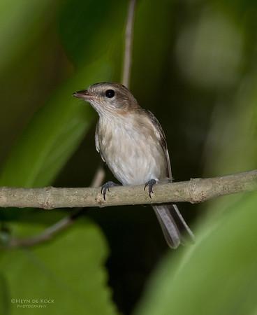 Grey Whistler (Pachycephala simplex)